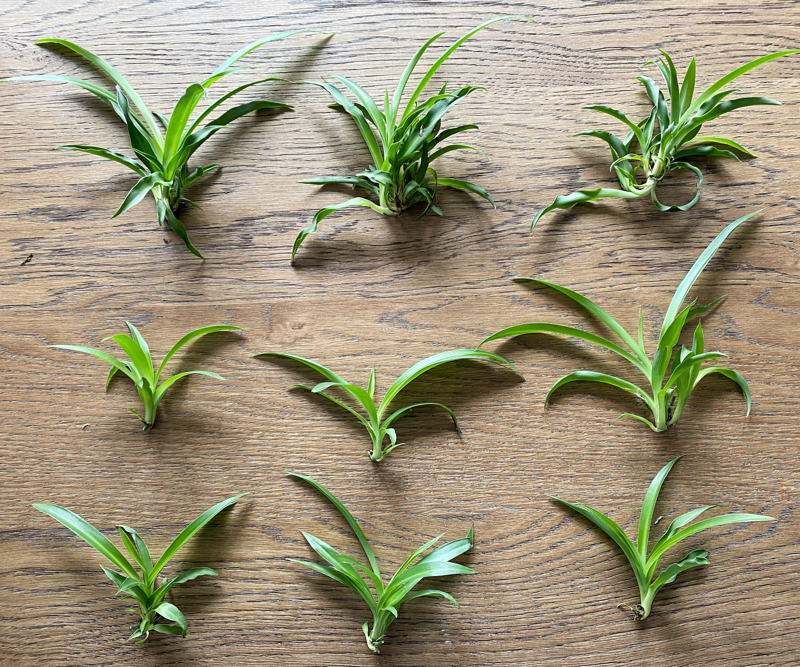 How To Easily Propagate A Spider Plant Made By Carli