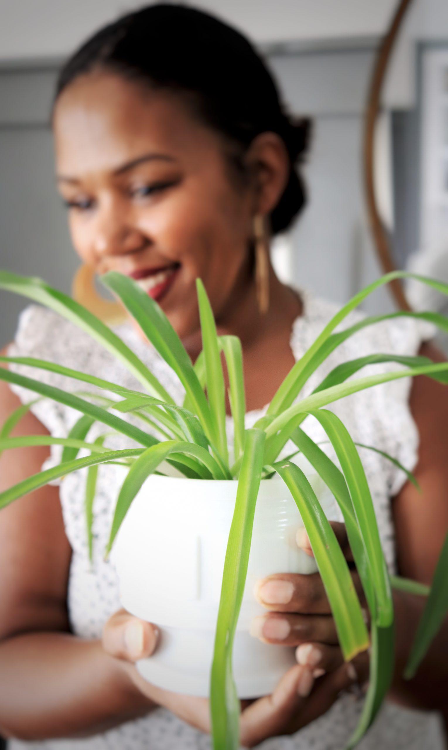 Spider plant propagation